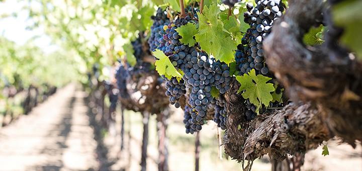 Vinařství v Chorvatsku, díl první: Historie